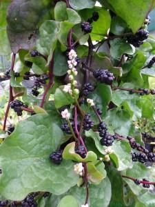 Malabar-Spinach-794